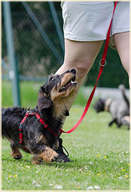 A dog walking well on leash.